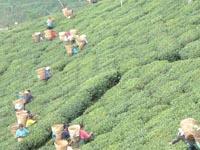 ネパールの茶園