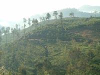 ヌワラエリアの茶園