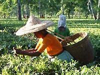 摘採(てきさい)茶葉を摘み取る