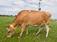 酪農牧場で草を食むジャージー牛